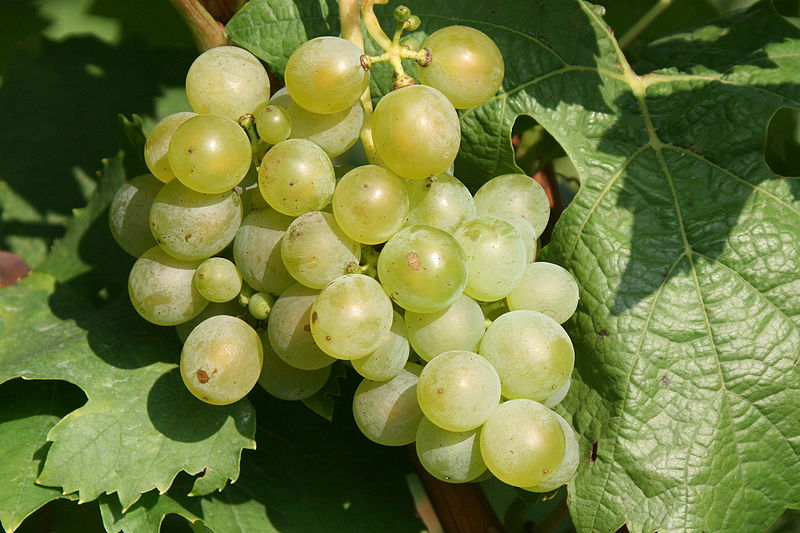 Müller-Thurgau grapes