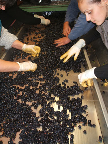 Sorting grapes at Weingut Ziereisen