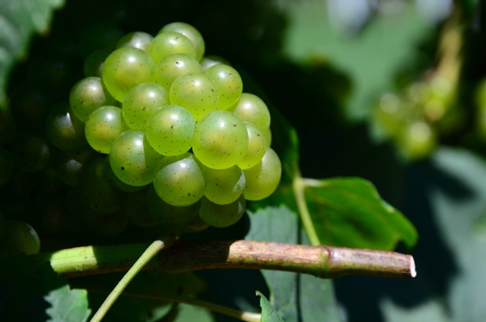 Chardonnay Grapes at Working Dog Winery, by slgckgc, licensed CC BY 2.0 https://www.flickr.com/photos/slgc/9582907983/